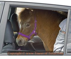 Ho hum, just another day in Texas . I was driving down the road yesterday near Luling when I looked over and spotted this pony or miniature horse in the back seat of a Toyota. And you wonder why we love it here! Country Girls, Country Style, Driving Class, Pony Horse, Funny Cars, Car Advertising, Back Seat, Car Humor, Fudge