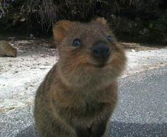This is called the Quoka and it's called the happiest animal in the world because it's always smiling <3