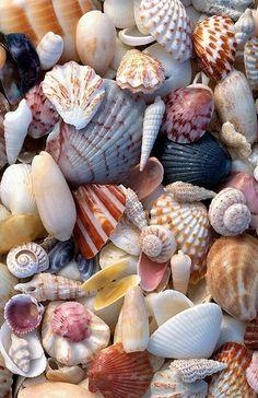 Sea shells of Sanibel. Sanibel is known for its shells. Sanibel Island, Jolie Photo, Shell Art, Broken China, Ocean Beach, Shell Beach, Summer Beach, Ocean Sailing, Seaside Beach