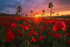 Poppy field by T&K Photography Photography Photos, Landscape Photography, Travel Photography, Tree Mushrooms, Road Pictures, Beautiful Sunrise, Photos Of The Week, Amazing Nature, Wonderful Places