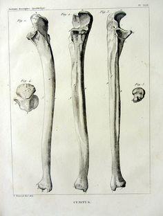 1852 original antique anatomie gravure, avant-bras cubitus OS, membre supérieur vintage cubitus, osseuse du squelette bizarrerie ostéologie.