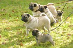 Pugs + Dogs + Cute!!! #LittleBearProd
