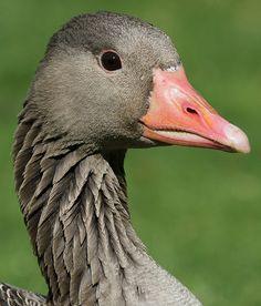 Greylag Goose (Anser anser) portrait