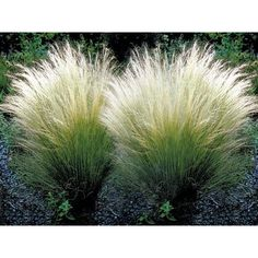 3 x stipa tenuissima pony tails ornamental grass perennial garden plants pot Garden Border Plants, Garden Shrubs, Garden Borders, Garden Grass, Garden Bulbs, Perennial Grasses, Ornamental Grasses, Perennials, Ornamental Grass Landscape