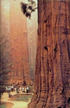 The Muir Woods