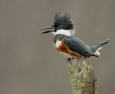 Belted Kingfisher - Photo by Larry Keller