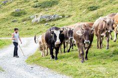 Alpabtrieb im Montafon - Montafon - Vorarlberg