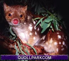 Tiger Quoll, a relative of the now extinct Tasmanian Tiger.