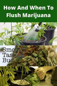 How And When To Flush Marijuana for extra smooth, healthy buds