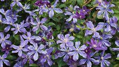 Hydrangea Petiolaris, Fall Plants, Garden Plants, Planting Bulbs, Planting Flowers, Organic Gardening, Gardening Tips, Wall Climbing Plants, Hanging Plant Wall