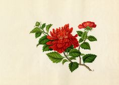 Hibiscus rosa-sinensis -- Asian and Oriental Art -- RHS Prints