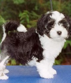 The Lowchen | Lowchen breed info,Pictures,Characteristics,Hypoallergenic:Yes