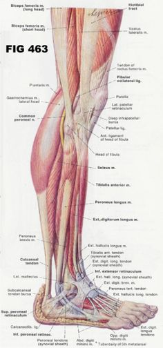leg and foot musculature - Google Search