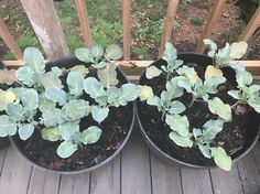 Whats wrong with my broccoli and cauliflower? See comments
