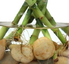 Care of Lucky Bamboo - repinned https://www.facebook.com/DhomeBAZAAR