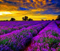 20 Uses for the Lovely Lavender Essential Oil