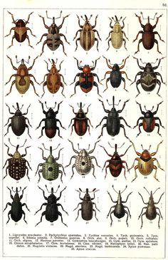 "G.G. Yakobson (1905-1915) - ""Beetles of Russia"": table 52"