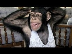 Funny chimpanzee trying to do belly dance and other dances to remain healthy and fit. Monkey Gif, Monkey See Monkey Do, Funny Home Videos, Funny Animal Videos, Pet Videos, Smiling Animals, Funny Animals, Cute Animals, Chimpanzee