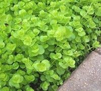 Creeping Jenny is a fast grower and can be great as a lawn substitute or used with stones and pavers