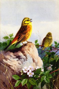 Archibald Thorburn - A Pair of Yellowhammers,1914