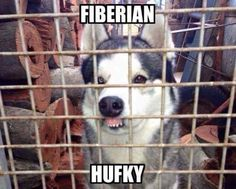 Phteven's friend: Fiberian hufky