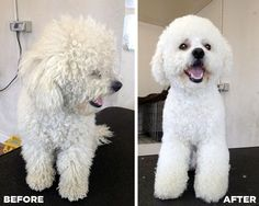 Before & after Grooming photo of a bichon frise