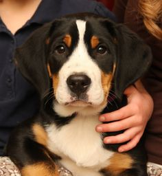 Greater Swiss Mountain Dog puppy.... Toyed with getting a Swissie but they are a handful when u read about them.  So cute though
