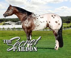 Appaloosa Stallion at Stud in Kentucky: The Secret Pardon Appaloosa Horses For Sale, Breyer Horses, Most Beautiful Horses, All The Pretty Horses, Hunting Outfitters, Fifth Wheel Trailers, Horse Pattern, Water In The Morning, Horse Breeds