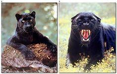 Black Panther Big Cat Wild Animal Two Set Wall Picture Ar... https://www.amazon.com/dp/B01IFBW63Y/ref=cm_sw_r_pi_dp_x_1iulybSY4QNHJ