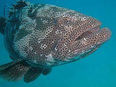 giant grouper fish