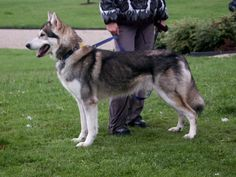 a northern inuit, or Utonagan, the mix breed of a german shepherd, a siberian husky, and an alaskan malamute. This is so like our dog. Tamaskan Dog, Northern Inuit Dog, Dog List, Alaskan Malamute, Working Dogs, Beautiful Dogs, Dogs And Puppies, Doggies, Best Dogs