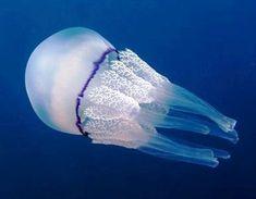 Réseau dobservation de la prolifération des méduses en PACA, Méditerranée