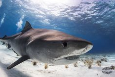 Tiger Shark at Tiger Beach  Courtesy of www.ApplecorpsPhotography.com