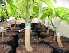 How to dwarf a mango tree