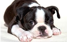 That is the best.  Boston Terrier pup.