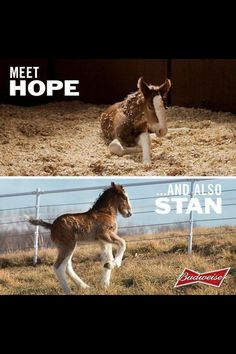 Meet Hope and Stan, the two new Clydesdale foals! All The Pretty Horses, Beautiful Horses, Animals Beautiful, Beautiful Creatures, Majestic Horse, Big Horses, Horse Love, Budweiser Commercial, Commercial Ads