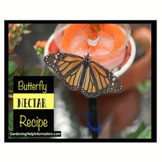 Want to attract butterflies to your yard all you have to do is feed them. Either by plant or providing nectar for them to feed on. Nikki Lynn, Nectar Recipe, Juice Store, How To Make Butterfly, Butterfly Feeder, Types Of Butterflies, Preschool Garden, Juicy Juice, Hummingbird Garden
