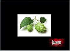 CERVEZA BUCANERO ¿Sabes que es el lúpulo? El lúpulo es una planta que se encuentra en Europa, Asia y Norteamérica, de la que se obtienen unas flores que aportan ciertos ácidos que favorecen a la actividad de la levadura de cerveza, estas flores  son reducidas a un extracto molido que se agrega en la elaboración de la cerveza. www.cervezasdecuba.com
