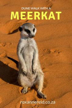 There's nothing like entering the world of a tiny meerkat on a walk across the Kalahari dunes just outside the Kgalagadi Transfrontier Park in South Africa. Slow Travel, Packing Tips For Travel, All About Africa, Afrikaans, Dune, Wonders Of The World, South Africa, Places To Go, Road Trip