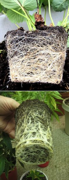 How to plant root bound plants: Make numerous downward cuts so that the circular roots are cut. This forces the roots to grow outward when they are replanted. Remove any brown or black roots, which are most likely dead. Keep the white roots, which are alive. 'Massage' the root ball of your plant ...