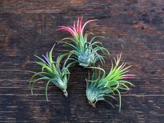 A hand-picked selection of 3 blooming or budding air plants will add color and life to any space. Shop tillandsias online from Air Plant Design Studio.