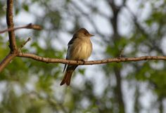 A stately Eastern Wood-Pewee basks in the warm morning light - Leica V-Lux 3 #biggestweek https://www.facebook.com/photo.php?fbid=444659275562450=a.444659055562472.117192.355103211184724=3