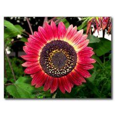 Crimson Sunflower Post Cards