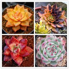 how to grow rare crsytal clear beauty succulent seeds