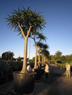 Aloe barberae (Tree Aloe)