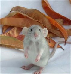 Cutest rat in existence