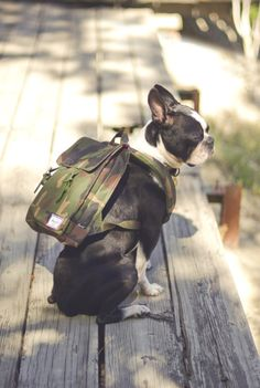 Herschel and Boston Terrier. Boston Terriers, Boston Terrier Love, Terrier Dogs, Cute Puppies, Cute Dogs, Dogs And Puppies, Doggies, I Love Dogs, Puppy Love