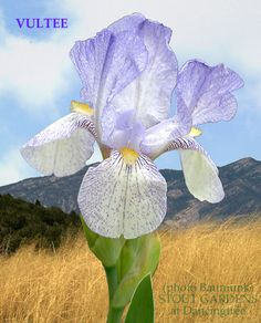 "(John J. Taylor 2007) SPECIES-X iris, 12-15"" (30-38 cm), EM Flowers: S. cool white, stippled, veined and widely bordered light violet to blue violet, light violet midrib; F. warm white, marked as S. b"