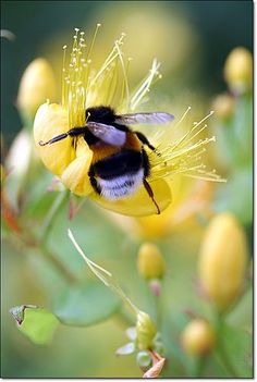 Bumble bee, my favorite. Bumble bee, my favorite. Beautiful Creatures, Animals Beautiful, Cute Animals, Buzz Bee, I Love Bees, Bees And Wasps, Beautiful Bugs, Bee Art, Bugs And Insects