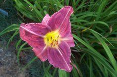 "Prairie Blue Eyes---5.5"" bl 28"" tall----lavender w/ near blue eye---$8.00 df"